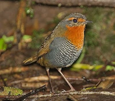 Birds of the World: Chucao tapaculo
