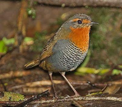 Birds of the World: Chucao tapaculo