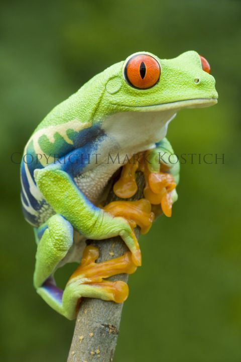 Red-eyed Tree Frog (Agalychnis callidryas) Central America                                                                                                                                                      More