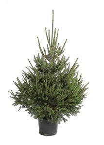 Sapin Epicea 100/125 en pot : Sapins de noël  MAISON - Botanic