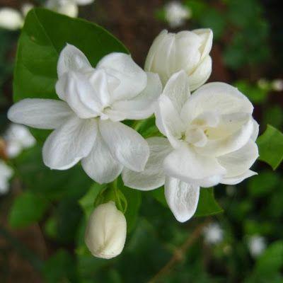 gambar bunga melati putih tercantik flower jasmine my