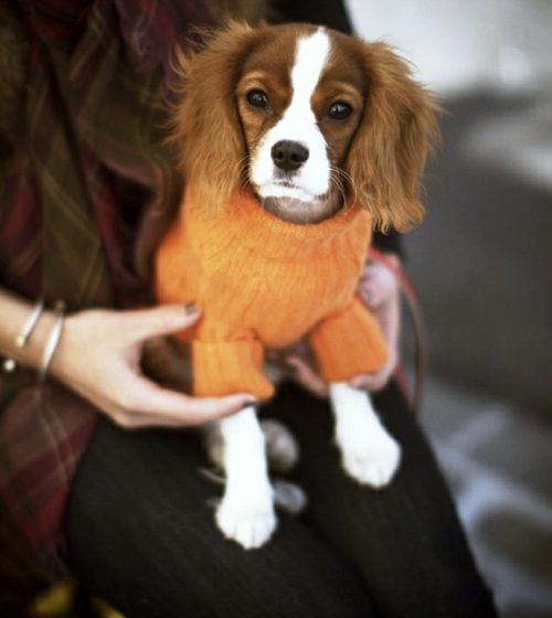 What A Doll: Cutest Dogs, Small Dogs, Orange Sweaters, Cavalier King Charles, Cavalier Spaniel, King Charles Cavalier, Future Dogs, Animal, King Charles Spaniels