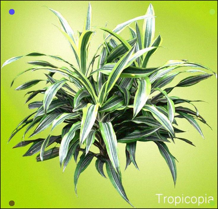 Dracaena lemon lime houseplant care tips houseplant 411