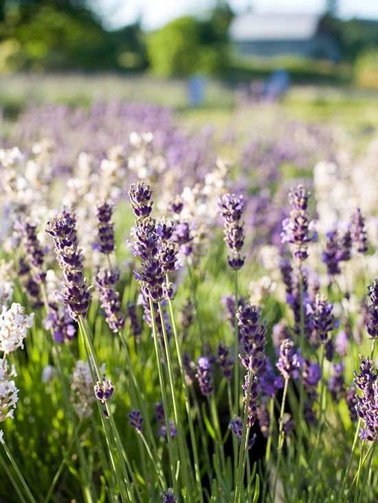 22 best lavender images on pinterest landscaping - A gardener is planting two types of trees ...