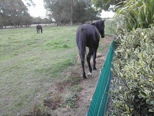 The horse in the back paddock broke the wire fence and stepped over now he's  eating out garden!