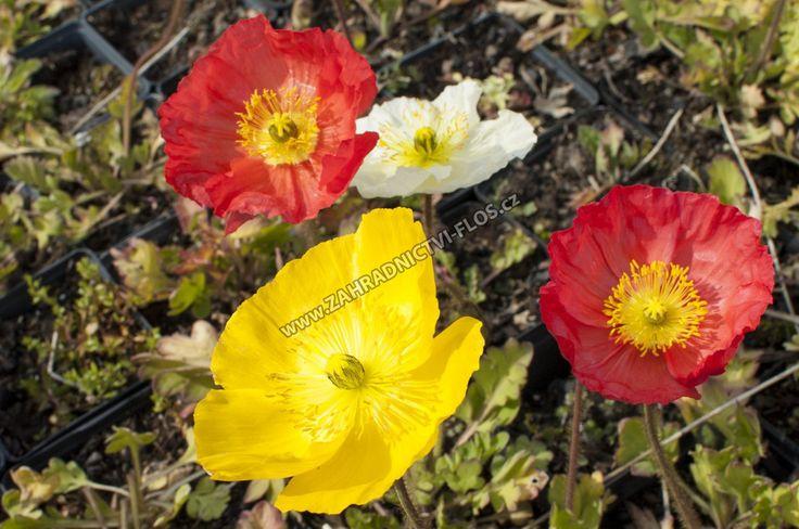 Papaver nudicaule 'Pulchinella Mixed' - mák lysý