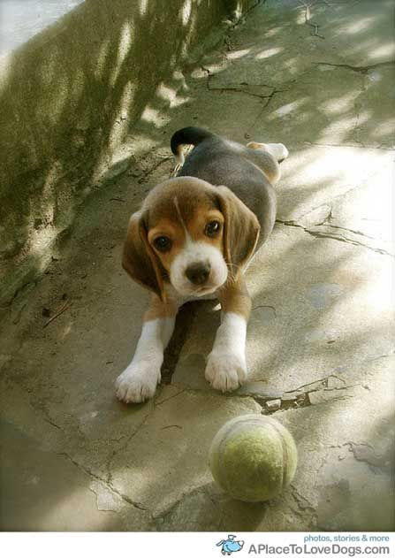 Started to think I wanted a baby, but then I seen this adorable bundle of joy and decided I wanted a beagle lol just like this one. ❤️❤️❤️❤️