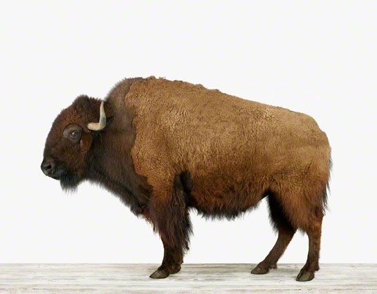 If you haven't seen The Animal Print Shop by Sharon Montrose, you're really missing something. American Buffalo #print. $25