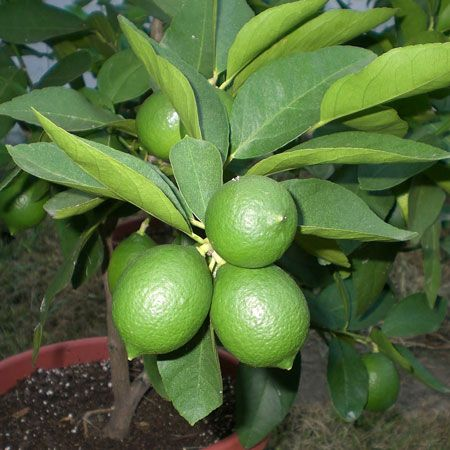 Persian 'Bearss' Lime Tree for Sale | Fast-Growing-Trees.com