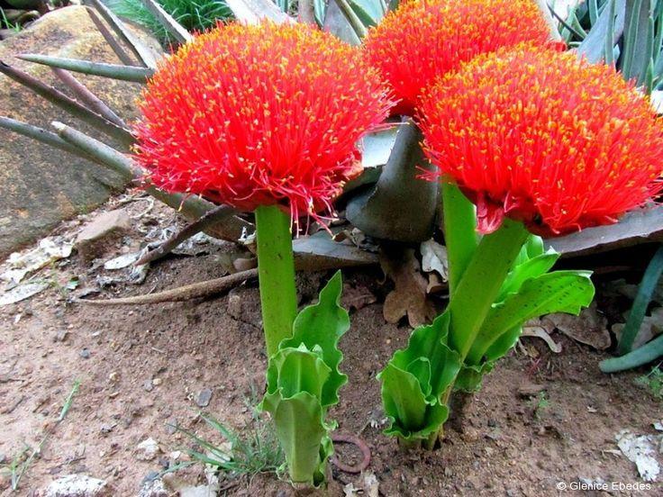 Scadoxus puniceus (Paintbrush, Blood Lily)