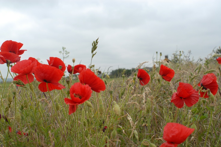 Poppies at Elmley, Isle of Sheppey  Adventure Walks for Families