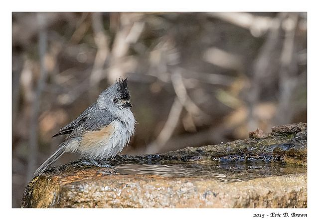 I captured this Titmouse bathing in the local bird bath at the Palo Duro Canyon. Captured with Canon 7D Mark II and Canon 100-400 Mark II handheld