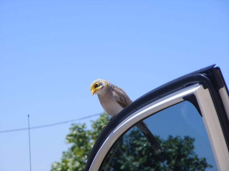 Not technically a dunny but this little Minah Bird was at a pitstop at Corfield, Queensland. He hopped in the car and scoured it for crumbs a plenty. Took some convincing to get out again!