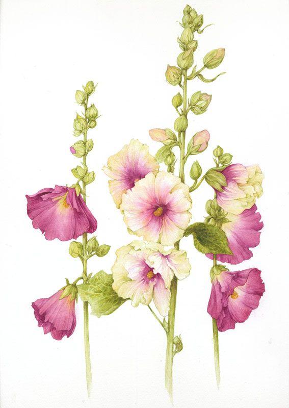 Tokkroos. Botanical Illustration by Jan Harbon - Rose of Sharon
