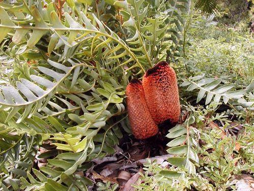 Banksia blechnifolia (Southern Blechnum Banksia)