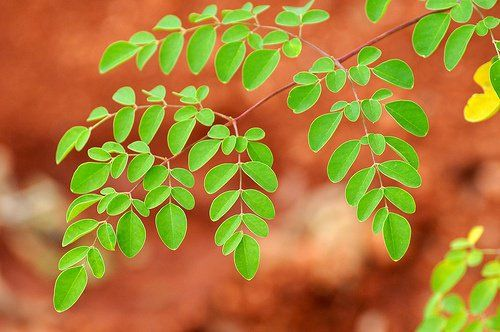 Moringa, el Milagroso Árbol de la Vida