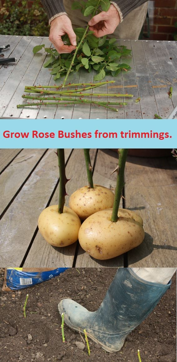 Grow-rose-bushes-from-trimmings