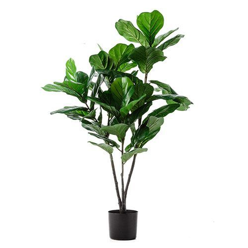 Fiddle Fig Potted Plant