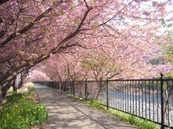 Tentang Bunga Sakura