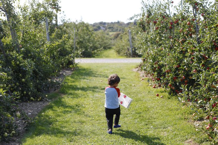 While apple picking is normally difficult for young children (given the height of the trees), Sweet Berry Farm in Middletown, RI  has solved that problem with trees grafted low to the ground to allow little ones to reach.