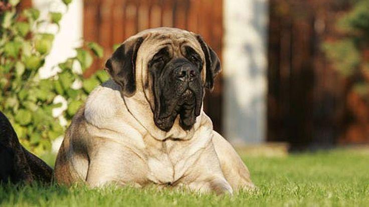 """""""Айкама Зорба"""" Самая большая собака в мире. Айкама Зорба — так звали обитавшего в Великобритании пса, обозначенного в Книге рекордов Гиннеса как «самая большая собака в мире»."""