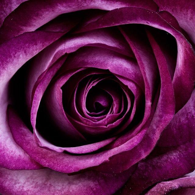 Beautiful rose close up shot #rose #purple #violet