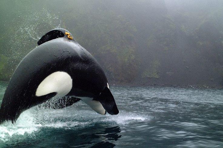 It's Keiko :) Look how happy he was free in the ocean!