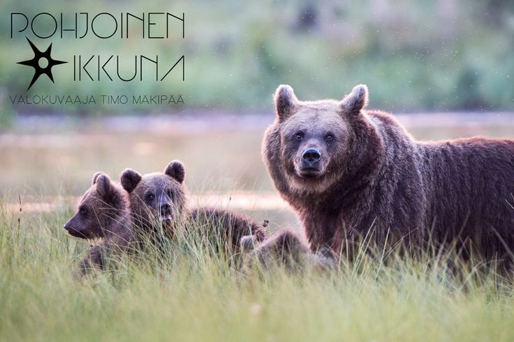Wild bears @ Kuusamo #wildlife #nature #bear