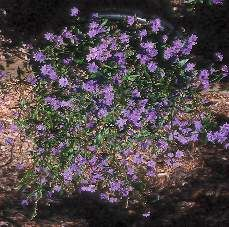 Blue-purple ground cover