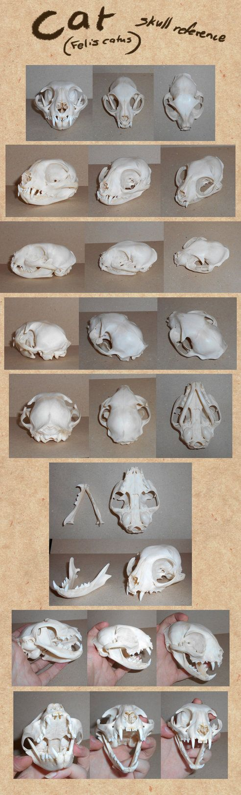Cat skull reference by Paperiapina on DeviantArt