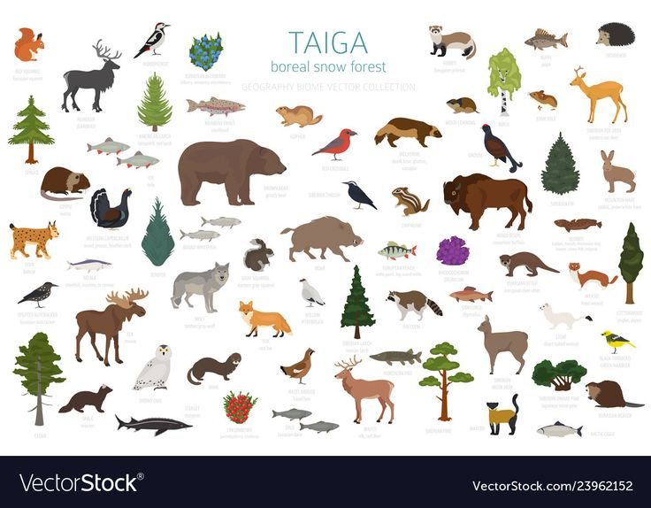 Taiga Biome Boreal Snow Forest Terrestrial Ecosystem World Map Animals Birds Fish And Plants Infographic Design Vec In 2021 Biomes Snow Forest Infographic Design