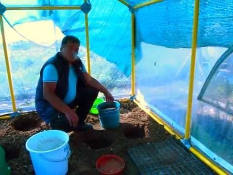 Saksıya Yer fıstığı ekimi - YouTube