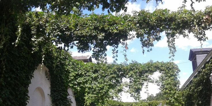 Een groene slinger? Dat zijn klimplanten die over de straat slingeren tussen jouw gevel ende gevel van de overbuur.Welke klimplanten zijn best geschikt?