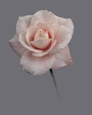 Strawberige: rose