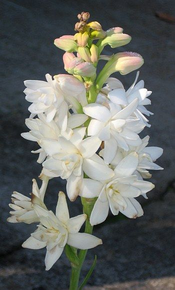 Polianthes tuberosa   The tuberose is used traditionally in Hawaii to create leis and was considered a funeral flower in Victorian times. Its scent is described as a complex, exotic, sweet, floral.