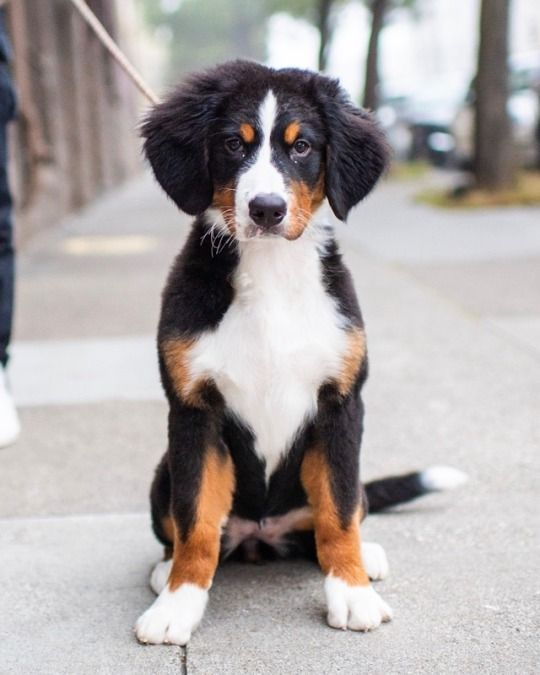 Sequoia Bernese Mountain Dog 4 M O Oak Cole St San