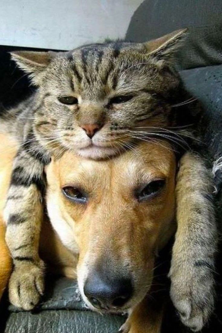 25 Hilarious Photos Of Cats Sleeping On Dogs Cute Animals Pets