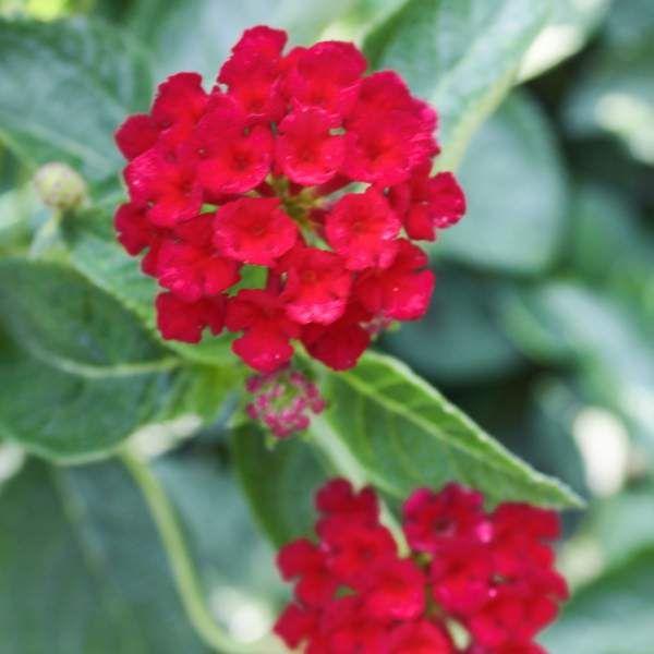 Wholesale Lantana Dark Red Unrooted Cuttings In 2020 Lantana Florida Flowers Lantana Plant