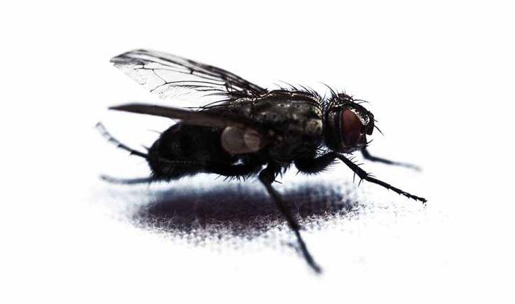 Cómo matar moscas con vinagre blanco - Trucos de hogar caseros
