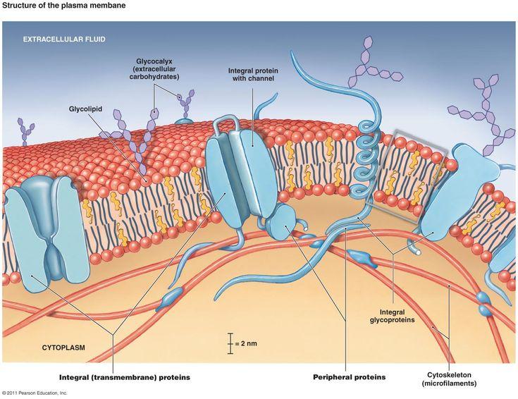 Cell Membrane Structure Diagram   Cell Membrane Diagram ...