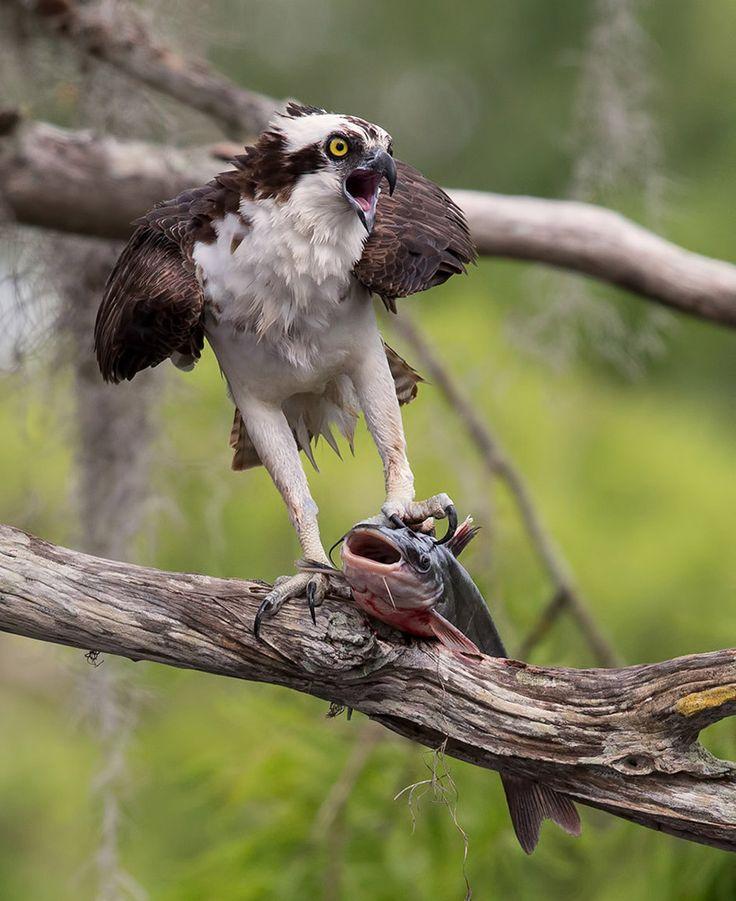Best of the day  Photo: Osprey with catfish Photographer: Elizabeth E http://photoliga.com/photos/2970818  More best photos here:  http://photoliga.com/photos  #bestfoto #bestofthebest #photographer #topphoto #photography #photoligacom #bestfotooftheday
