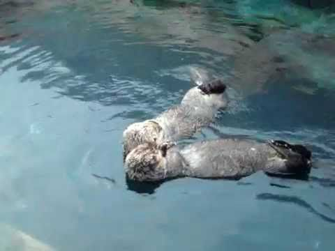 Lontras de mãos dadas / Otters holding hands - YouTube