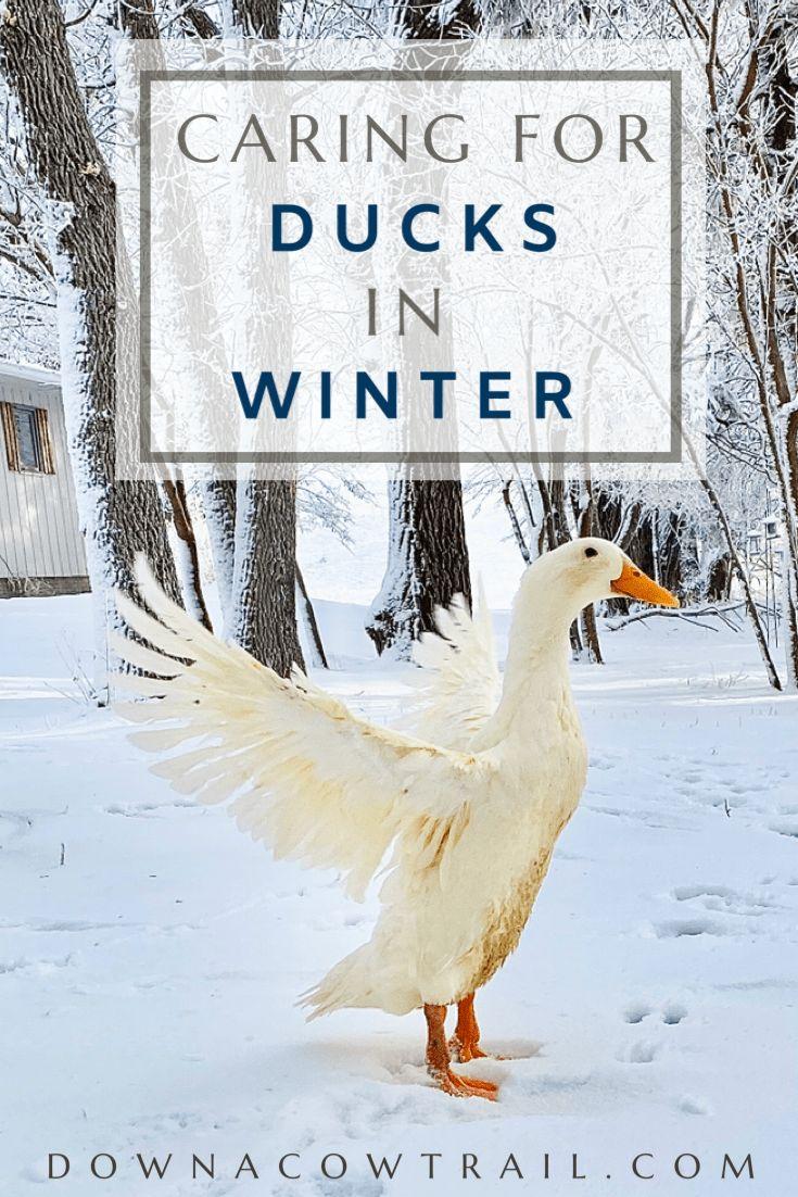 Caring for ducks in winter in 2020 pet ducks duck pens