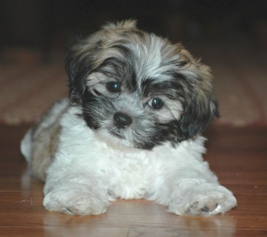shichon puppies for sale | No Shichon Puppies for sale, but we do have wonderful shichon babies ...