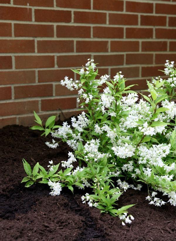 best  white flowering shrubs ideas on   flowering, Natural flower