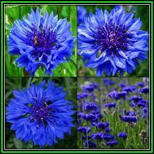 Image result for blue boy cornflower
