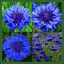 Image result for blue boy cornflower