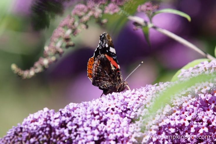 A Red Admiral butterfly, also known by its scientific name of Vanessa atalanta, is feasting on Buddleja.