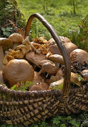 cueillette de champignon
