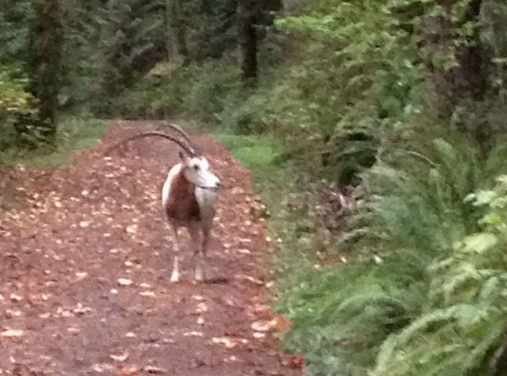An elk? An oryx? Large, unusual-looking horned animal reported on Germantown Road in Forest Park | OregonLive.com